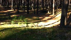 Morning in the forest. (ALEKSANDR RYBAK) Tags: утро лес солнечный свет тени деревья стволы хвоя трава осень сезон погода природа ландшафт morning forest solar shine shadows trees trunks needles grass autumn season weather nature landscape