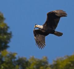 Bald Eagle with nesting material (jimbobphoto) Tags: raptor eagle baldeagle bird wildlife flight