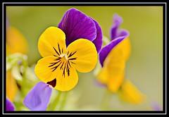 "29/100 for ""100 Flowers 2018"" (NikonShutterBug1) Tags: nikond7100 tokina100mm nature wildlife bokeh spe smartphotoeditor closeup macro flower flora 100flowers2018"
