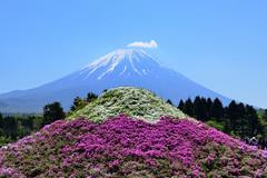 Mountain Fuji 富士山 (Vincent_Ting) Tags: 富士山 富士芝櫻季 芝櫻 本栖湖 河口湖 藍天 bluesky flower mountainfuji mtfuji fuji fujishibazakurafestival festival shibazakura