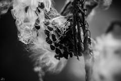 233/365 (misa_metz) Tags: nikon nature naturephotography blackandwhite black bw photo photography plant outdoor autumn helios manual macro