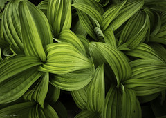 Hellebore Whorls (courtney_meier) Tags: britishcolumbia canada falsehellebore manningpark provincialpark veratrumviride botany plants
