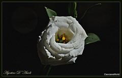 Fiore bianco - Settembre-2018 (agostinodascoli) Tags: fiore nature macro agostinodascoli texture bianco nikon nikkor cianciana sicilia