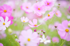 Untitled (けんたま/KENTAMA) Tags: cosmos autumn pink bokeh コスモス 秋 pastel
