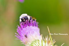 IMG_7579 (nitinpatel2) Tags: bee macro nature nitinpatel