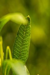 Hopbush (benakersphoto) Tags: plant leaf nature naturephotography nikon tamron macro green colorful colourful colours bokeh