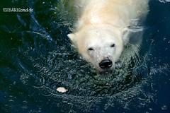 Vera - Charlotte - Eisbären - Tiergarten Nürnberg (ElaNuernberg) Tags: eisbärvera eisbärcharlottealiaslottchen tiergartennürnberg nurembergzoo zoo zooanimals zootiere eisbär polarbear ourspolaire orsopolare ijsbeer isbjorn ursusmaritimus niedźwiedźpolarny jääkaru
