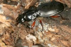 Pterostichus sp (chug14) Tags: macro insecte carabe unlimitedphotos nature naturephotography animalia arthropoda hexapoda insecta coleoptera carabidae pterostichinae pterostichini pterostichus