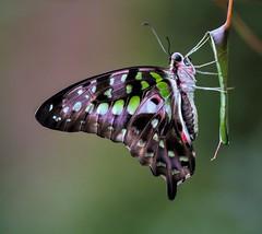 Exotischer Schmettterling (Fritz Zachow) Tags: schmetterling insekt blatt schmetterlingspark holmseppensen deutschland macro