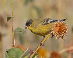 Lesser Goldfinch (Keith Carlson) Tags: lessergoldfinch