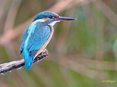 Alcedo atthis  (Martín pescador común) (13) (eb3alfmiguel) Tags: aves pajáros coraciiformes alcedinidae pescador común martin pájaro madera acuaticas agua hierba roca