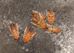 Herald Moth Scoliopteryx libatrix (Iain Leach) Tags: wildlifephotography photograph image wildlife nature iainhleach wwwiainleachphotographycom canon canoncameras photography macro macrophotography closeup butterfly moth lepidoptera insect invertebrate heraldmoth scoliopteryxlibatrix