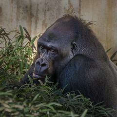 National Zoo Gorilla (jtgfoto) Tags: approved zoo nationalzoo washingtondc washington nature animal sonyalpha sonyimages park smithsonian smithsoniannationalzoologicalpark woodleypark gorilla primate eyes