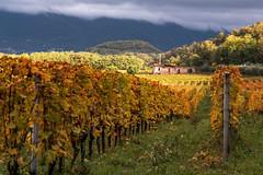 L'autunno dei vitigni (Sassopiatto photography) Tags: vigneto autunno uva colina foliage filari casolare