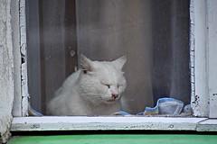sleepy cat (JoannaRB2009) Tags: sleepy cat animal window white lądekzdrój polska poland