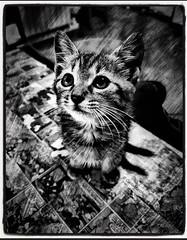 """Magic powers of cats"" (carlomarchetti62) Tags: carlomarchetti photography art artstudio animals cat nature dream empathy feel freedom heart home intothewild infinity love life lifestyle present soul spirituality world bnwworkers beauty bnwartstyle bnwplanet2018 bnw bnwaddiction bnwitalian"