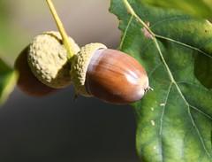 Polished (:Linda:) Tags: germany thuringia village bürden oaktree acorn