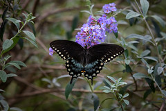 140A5006 (Ricky Floyd) Tags: swallowtail butterfly canon