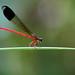 Malabar Torrent Dart (Euphaea fraseri) male.,ചെങ്കറുപ്പൻ അരുവിയൻ