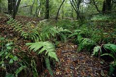 Fern gulley (Through Bri`s Lens) Tags: sussex autumncolour ashurst washington ferns greens reds canon5dmk3 canon1635f4 polariser woods forrest