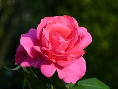 Rose 10.2018 (ardoise08) Tags: ardennes argonne vouziers rosa 一朵玫瑰 rose