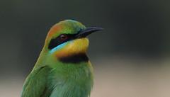 Rainbow Bee-eater, Byron Bay NSW. (petebond_au) Tags: bestbirdshots yourbestbirds birdporn birdbrilliance australia biodiversity conservation nsw birds bird aves avian colour feathers plumage head rainbow beeeater