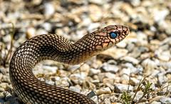 male large whipsnake - Primorski, Bulgaria 3 (Russell Scott Images) Tags: primorski primorsko blacksea bulgaria male reptile snake caspianwhipsnake dolichophiscaspius colubercaspius largewhipsnake