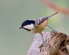 Coal Tit (Periparus ater) - Taken at Barnwell Country Park, Oundle, Northants. UK. (Ian J Hicks) Tags: