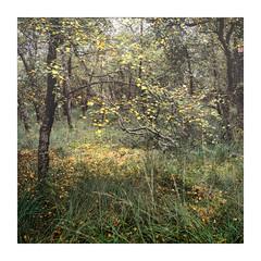 Birch Pool (gerainte1) Tags: hasselblad501 velvia50 film colour autumn trees woodlandyorkshire