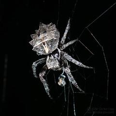 Starbellied Orbweaver - Arachtober 5th (jciv) Tags: mission texas unitedstates us file:name=dsc09826 macro spider arachnid arachtober2018 arachtober arachnids arachnida araneae araneomorphae entelegynes orbweaver orbweavers araneidae acanthepeira starbelliedorbweaver acanthepeirastellata taxonomy:binomial=acanthepeirastellata
