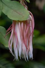 flower macro (billcoo) Tags: 6d2 6dii 2 bokeh plant garden pink