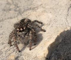 Araignée salicidae (Jef ALTERO) Tags: arachnida animalia araignée araneomorphae arthropoda araneae chelicerata salticidae animal