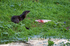 Eurasian Otter (redape99_) Tags: nikon animal cork feeding ireland mammal nature outdoor river telephoto water fermoy countycork