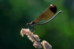 Calopteryx haemorrhoidalis (female) (Giorgia_Amendola) Tags: calopteryx haemorrhoidalis odonata libellule dragonflies fiumefreddo bruzio fauna calabria tamron macro 90mm