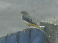 grey wagtail beauty - on the fence but we hope not for the planning application here which is not ok for wildlife! (river crane sanctuary) Tags: greywagtail wagtail grey rivercranesanctuary