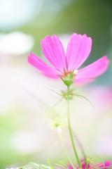DSC04218 (Keishi Etoh rough-and-ready photoglaph) Tags: flower sony a7ⅱ sonya7ⅱ 35mmfullframe ilce7m2 sonyilce7m2 autoyashinondx50mmf14 yashica 50mm mf manualfocuslens primelens fixedfocallengthlens oldlens yashinon m42 単焦点 標準