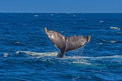 whale16Oct5-18 (divindk) Tags: anacapa anacapaisland channelislands channelislandsnationalpark humpbackwhale megapteranovaeangliae sanmiguelisland santabarbara santacruzisland santarosaisland underwater ventura blueocean cetacean diverdoug flukes marine marinemammal ocean reef sea underwaterphotography whale whaletail