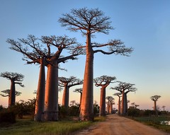 Avenue of Baobabs (Rod Waddington) Tags: madagascar malagasy allee des baobabs avenue ally trees road water children outdoor group nature native