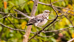 7K8A8293 (rpealit) Tags: scenery wildlife nature state line lookout immature mockingbird bird