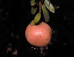 Pomegranate in Kolymbethra Garden of Agrigente (Sokleine) Tags: pomegranate grenade fruit gardens jardin bokeh flou agrigente sicile sicilia italia italy italie nature