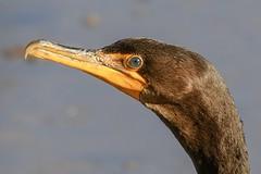 Double -crested cormorant profile (eshansen2) Tags: naturephotography wildlifephotography nature nikon dcwildlife birding washingtondc anacostia bird cormorant