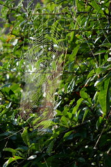 P1130534 (harryboschlondon) Tags: harryboschflickr harrybosch harryboschphotography harryboschlondon october2018 october 2018 21stoctober2018 plantstreesandflowers botanical botanicalphotography nature naturephotography england englandphotography green cobweb spidersweb
