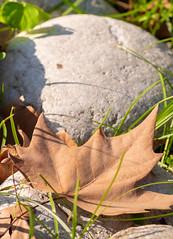 Autunno al Real Orto Botanico di Napoli (LaSagra) Tags: orto botanico napoli autunno fall winter inverno leaf foglia acero maple looking close friday otoño lookingcloseonfriday