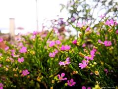⛅ Bello Purple 😘 #lostinDalat #dalat #vietnam #travel #travelling #home #hometown #morning #sunshine #flower #floura #grass #inspiration #green #purple #haicao #photography #lgg6 #snapseed (Hải_Cao) Tags: travelling haicao snapseed hometown green sunshine vietnam inspiration dalat home morning flower floura lostindalat grass lgg6 purple travel photography