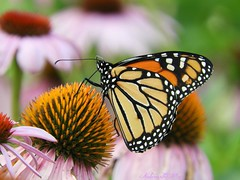 Memories (NaturewithMar) Tags: monarch butterfly coneflower summer 2018 nikoncoolpix