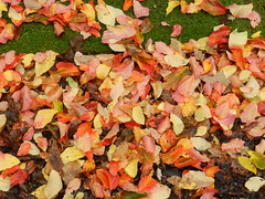 Autumn Leaves, Botanic Gardens, Inverness, Oc 2018 (allanmaciver) Tags: autumn leaves inverness scotland colours scattered bright enjoy visit highlands allanmaciver