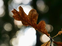 Fragility of Nature (docwiththecamera) Tags: leaf leaves closeup nature bokeh light dark fragile darkness