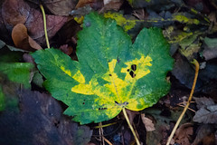 Colours of autumn: fallen sycamore leaf (Dave_A_2007) Tags: autumn leaf nature plant sycamore tree wombourne staffordshire england