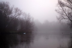 Swan in the mist. (pstone646) Tags: lake nature mist water reflections weather trees bird swan kent atmospheric beauty