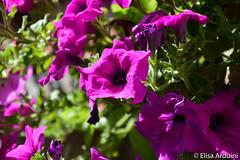 Petunia (ElisaArduini) Tags: flower flowers nature natura outdoor fiore fiori plant plants piante pianta calcata wildlife outside photography fotografia flickr photo photos foto nikon d3200 nikond3200